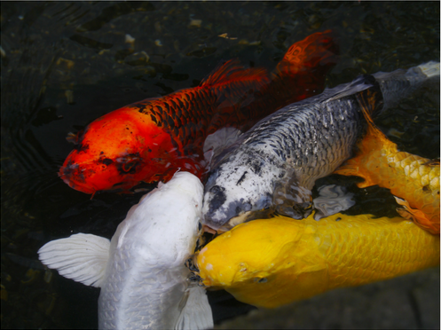 add fish to your pond - koi